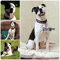 Adopt A Pet :: Dodger - Sioux Falls, SD