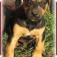Adopt A Pet :: Teddy-Absolutely Adorable - Marlborough, MA