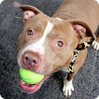 Adopt A Pet :: Dino - Long Beach, NY
