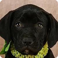 Adopt A Pet :: Cartoon Cheetara - Baltimore, MD