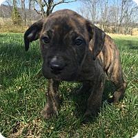 Adopt A Pet :: Brigitta Von Trapp - Columbia, MD