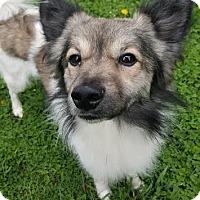 Sheltie, Shetland Sheepdog/American Eskimo Dog Mix Dog for adoption in Sheridan, Illinois - Bruno