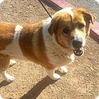 Adopt A Pet :: Ashton - Las Vegas, NV