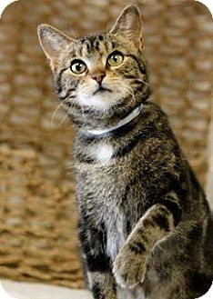 Domestic Shorthair Cat for adoption in Owenboro, Kentucky - PIRATE!
