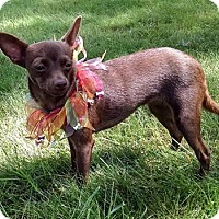 Chihuahua/Miniature Pinscher Mix Puppy for adoption in Delaware, Ohio - Hope