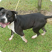 Pit Bull Terrier Mix Dog for adoption in Newport, North Carolina - Billy