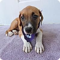 Adopt A Pet :: Donut-Pending! - Detroit, MI