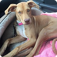 Coonhound Mix Dog for adoption in Vidor, Texas - Red Roan Remi