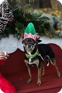 Miniature Pinscher Mix Dog for adoption in Auburn, California - Peewee