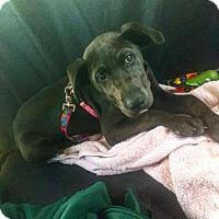 Adopt A Pet :: Josie - ADOPTED - Livonia, MI