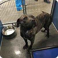Pit Bull Terrier Mix Dog for adoption in Henderson, North Carolina - Troy