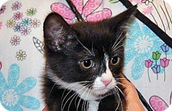 Domestic Shorthair Kitten for adoption in Wildomar, California - 323001