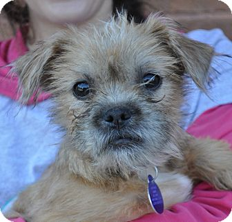 Border Terrier/Terrier (Unknown Type, Small) Mix Puppy for adoption in Atlanta, Georgia - Mia