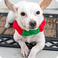 Chihuahua/Dachshund Mix Dog for adoption in Irvine, California - Cindy