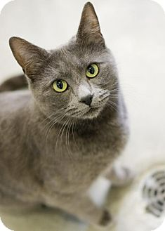 Domestic Shorthair Cat for adoption in Boise, Idaho - Sadie