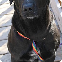 Labrador Retriever Mix Dog for adoption in Austin, Texas - Si