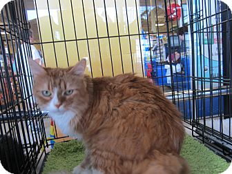 Maine Coon Cat for adoption in Easley, South Carolina - Garfield