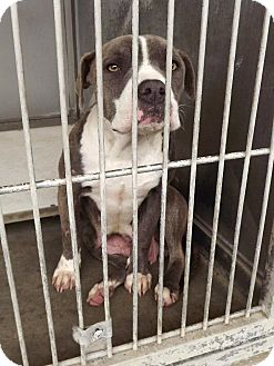 Staffordshire Bull Terrier/Pit Bull Terrier Mix Dog for adoption in San Diego, California - Petunia URGENT