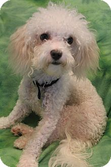 Poodle (Miniature)/Bichon Frise Mix Dog for adoption in Hagerstown, Maryland - Bailey