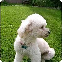 Adopt A Pet :: Corky - La Costa, CA