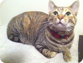 Calico Cat for adoption in Indianapolis, Indiana - Itty Bitty