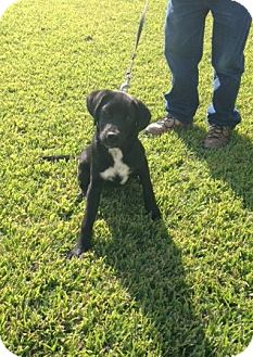 Dalmatian/Labrador Retriever Mix Dog for adoption in Baton Rouge, Louisiana - Lucky--ADOPTION PENDING