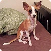 Adopt A Pet :: NEROLI - Higley, AZ