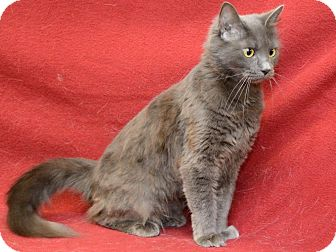 Domestic Mediumhair Cat for adoption in Warren, Michigan - Mrs. Murdock