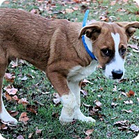 Adopt A Pet :: Nelson - Naugatuck, CT