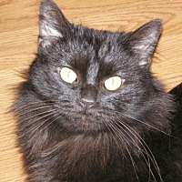 Domestic Longhair Cat for adoption in Greenback, Tennessee - Onyx