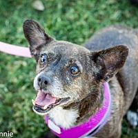 Chihuahua/Spaniel (Unknown Type) Mix Dog for adoption in Tucson, Arizona - Bethany