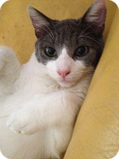 Domestic Shorthair Kitten for adoption in Brea, California - ROWDY