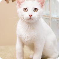 Adopt A Pet :: Milkshake - Chicago, IL