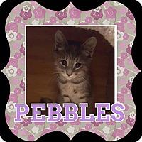 Adopt A Pet :: Pebbles - Bensalem, PA