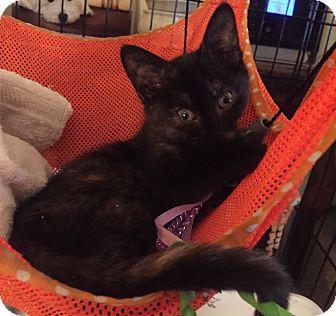 Domestic Shorthair Kitten for adoption in Bedford Hills, New York - Ginger