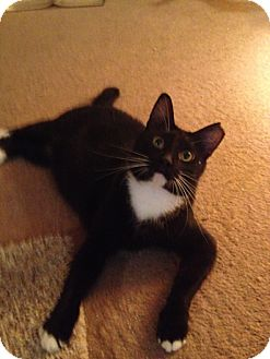 Domestic Mediumhair Cat for adoption in Houston, Texas - Sweetie