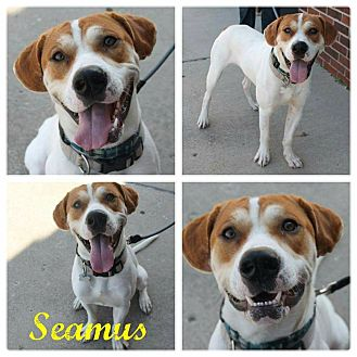 Foxhound Mix Dog for adoption in Garden City, Michigan - Seamus