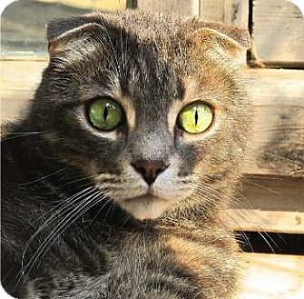 Scottish Fold Cat for adoption in Davis, California - Tiger