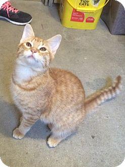 Domestic Shorthair Kitten for adoption in Madisonville, Louisiana - Beignet