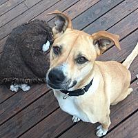 Adopt A Pet :: Izzy - Dallas, TX