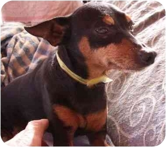 Miniature Pinscher Dog for adoption in Phoenix, Arizona - Strader