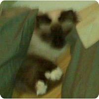 Adopt A Pet :: Penelope du Prince de Gala - Franklin, NC