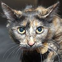 Domestic Mediumhair Cat for adoption in Mountain Home, Arkansas - Tootsie