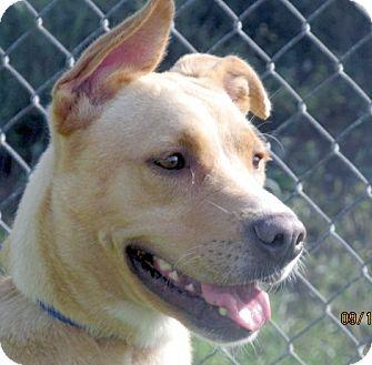 Labrador Retriever/Shepherd (Unknown Type) Mix Dog for adoption in Germantown, Maryland - Kathy