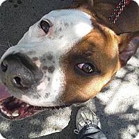 Adopt A Pet :: Pandora - Toms River, NJ