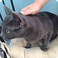 Adopt A Pet :: Haines Mom Cat - Gaithersburg, MD