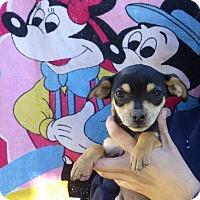 Adopt A Pet :: Prissy - Oviedo, FL