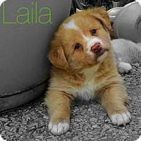 Adopt A Pet :: Laila - Thompson's Station, TN