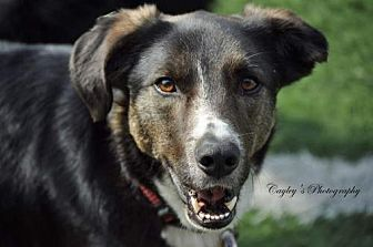 Border Collie Mix Dog for adoption in Evansville, Indiana - Bear