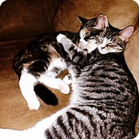 Domestic Shorthair Cat for adoption in Woodbury, New Jersey - Maisey & Griswold (CP)